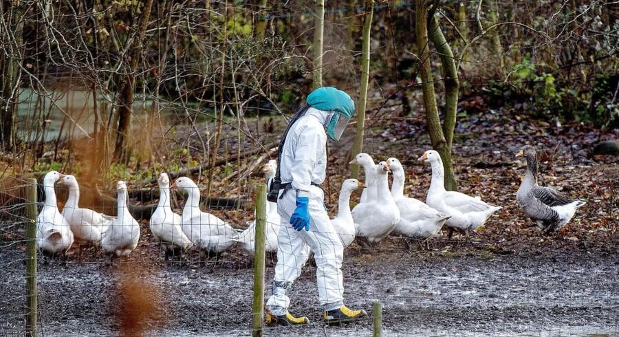 Fugleinfluenza i Nordsjælland. En lille besætning på 30 ænder er døde. Beredskabsstyrelsen er på stedet.