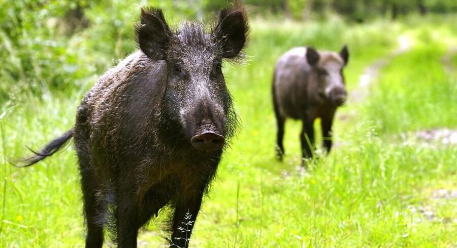 (ARKIV) Afrikansk svinepest kan ødelægge dansk svineeksport, og derfor skal der etableres et hegn, der kan holde smittede vildsvin ude.