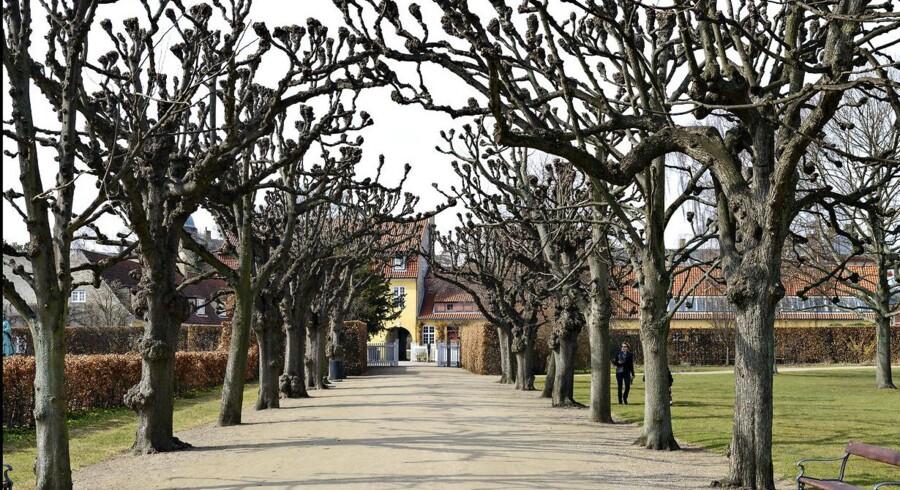 Byens træer nyder godt af højere temperaturer, påviser ny forskning, Her er det en forårsdag i Kongens Have i København.