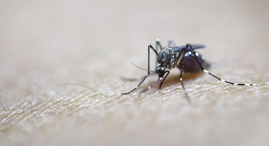 Flere arter af aedes-myg kan overføre zikavirus.