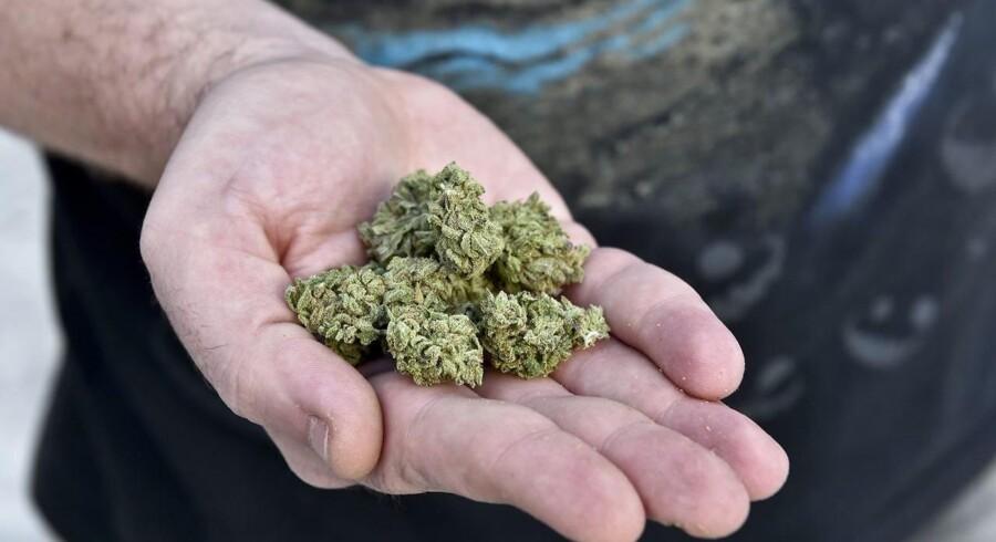Arkivfoto: Patienter på medicinsk cannabis dropper smertestillende medicin og tænker hurtigere og klarere. Sådan lyder de første forsigtige, men lovende resultater fra et stort forskningsprojekt.