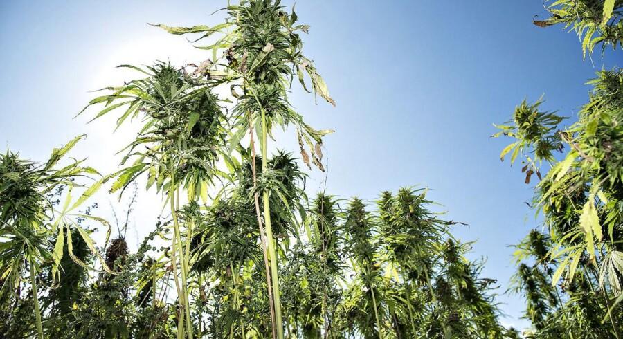 Høstemoden hampmark i Danmark, hvor cannabis dyrkes lovligt til medicinsk formål (foto: Henning Bagger / Scanpix 2017).