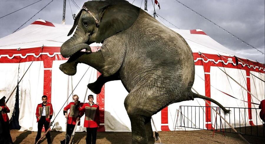 Fremover bliver det forbudt at have vilde dyr i cirkusmanegen.