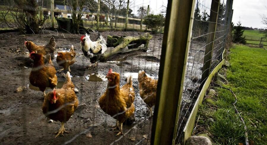 Det første tilfælde af fugleinfluenza i en dansk fjerkræbesætning blev registreret mandag. Det kan ramme branchen og den danske eksport hårdt.