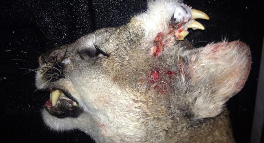 Idaho Department of Fish and Game offentliggjorde forleden en forevigelse af pumaen, som til både eksperter og lokales overraskelse blandt andet havde et ekstra sæt tænder siddende i panden.