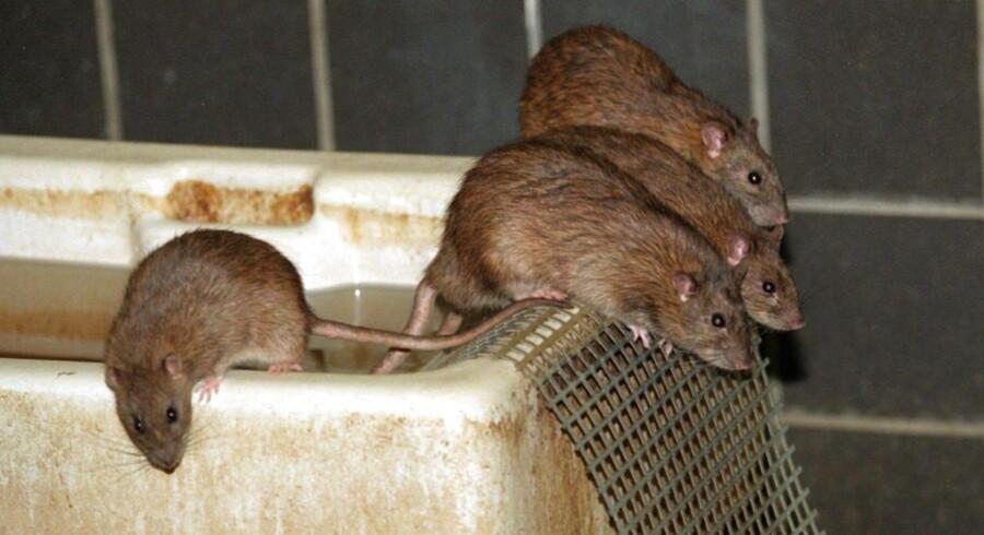 ARKIVFOTO af rotter- - Se RB 10/4 2015 08.11. Både Dansk Supermarked og Coop har reageret, efter at der er fundet rottespor hos chokoladevirksomhed. (Foto: Linda Kastrup/Scanpix 2015)