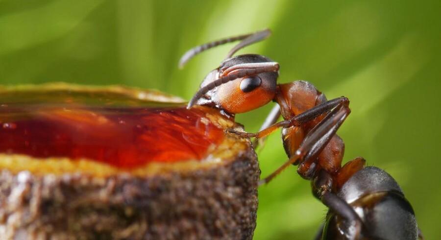 Ligesom myrer tiltrækkes af honningfælder, skal hackere nu gå i fælden og oversvømmes med falske oplysninger, når de forsøger at skaffe sig personlige oplysninger og kreditkortinformationer. Foto: Iris/Scanpix