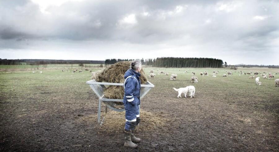 Åse Svenden har på halvandet år mistet 50 får fra sin gård i Sønderjylland. De 11 fortabte får er dokumenteret med DNA at være taget af ulve. Resten er bare forsvundet.