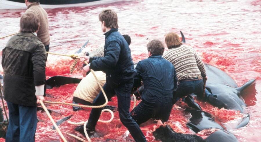 Arkiv: Debatten om grindedrab har stået på i årevis. Her er det fra 2000, hvor et dansk inspektionsskib blev sendt til Færøerne for at standse miljøaktivisterne, der ville redde hvalerne.