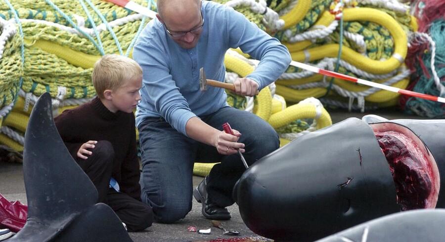 Et færøsk barn ser sin far slå tænderne ud af en grindehvals kæbe.