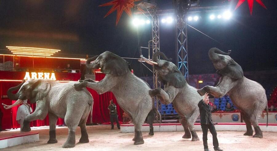 Det Dyreetiske Råd vil have elefanter forbudt i cirkus.