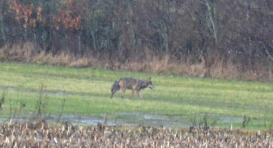 Det er ikke kun enlige hanulve, der har indtaget Jylland. Naturstyrelsen har fundet flere DNA-prøver, der viser, at der også er tæver blandt ulvene, som dermed for alvor er tilbage på dansk grund. Dette billede er fra vestjyske Lem, hvor en ulv tidligere blevet spottet.