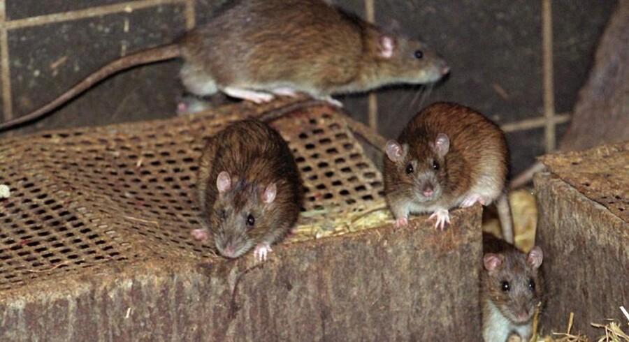 Rotter har gode livsbetingelser dette efterår.