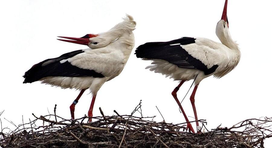 I Danmark har vi kun to storkepar, mens man i Slesvig syd for grænsen har 350 ynglepar.