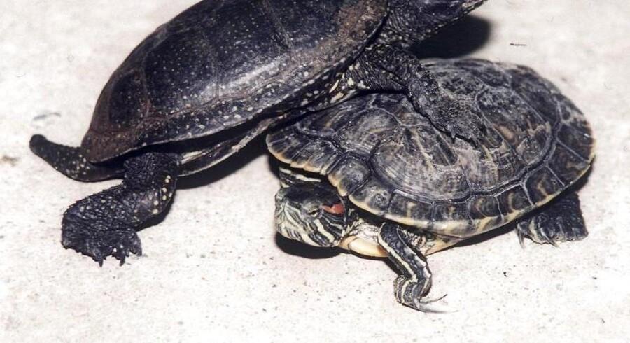 I alt 12 dyre- og plantearter er Danmark forpligtet til at bekæmpe. Styrelsen for Vand og Naturforvaltning ser frem til at få borgernes hjælp til at kortlægge de invasive arters udbredelse, men fraholder sig fra at give en manual til bekæmpelse af blandt andet sumpskildpadden. Det tager vi os af, lyder det fra styrelsen.