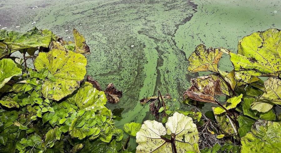 En gruppe af alger udviklede en ny teknologi til at skabe energi fra solens lys og CO2. Denne »fotosyntese« havde et restprodukt, ilt, som forgiftede de andre levende organismer, der uddøde i hobetal. Forskere har nu fundet ud af, at det skete meget før, man hidtil har antaget. Arkivfoto: Preben Madsen