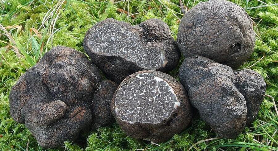 Den sjældne og eksklusive trøffel med det latinske navn Tuber macrosporum. Foto: Wikimedia Commons.