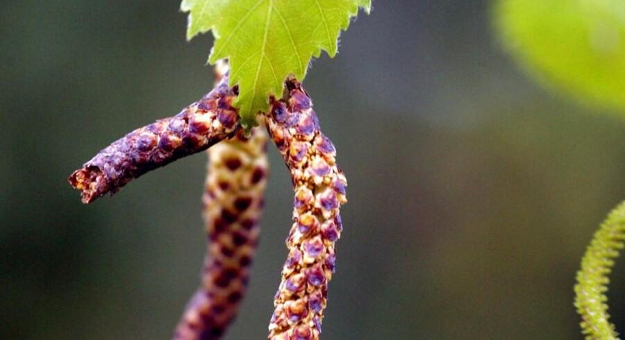 Atjuu. Mange danskere er allergiske over for birketræernes pollen.