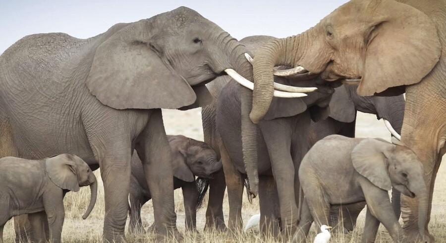 ARKIVFOTO. Elefanter i Ambolesi National Park i det sydlige Kenya.