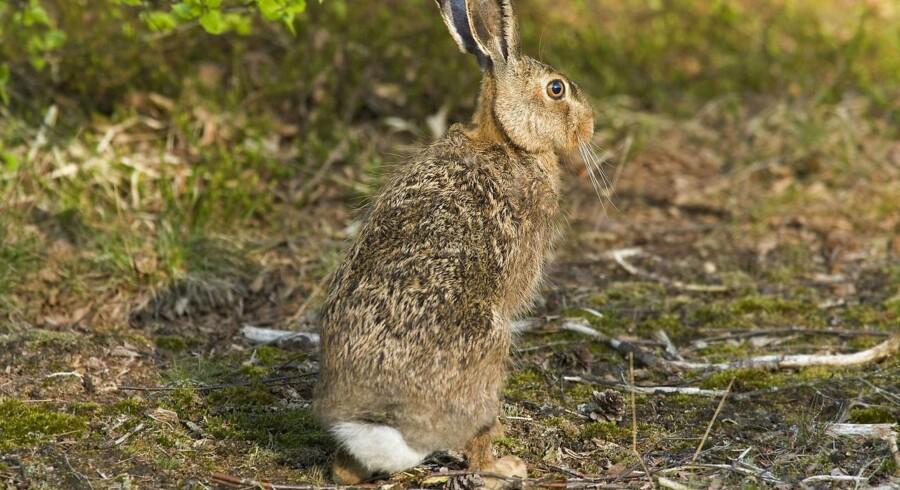 Arkivfoto: Denne hare er sund og rask, men en af dens artsfæller blev i julen fundet død i nærheden af Ekkodalen på Bornholm - smittet med den sjældne sygdom Tularæmi, som også kan være farlig for mennesker.