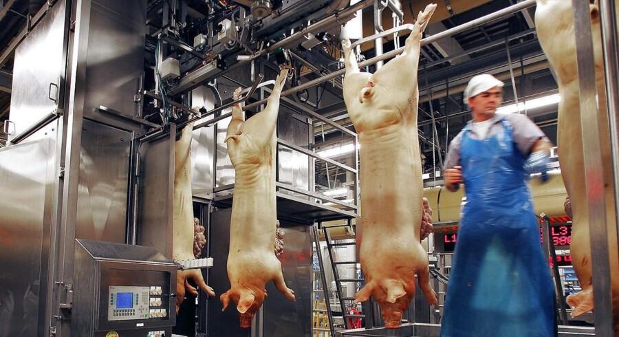 Svinpest breder sig i EU og truer dansk milliardeksport af svinekød, blandt andet til Rusland.