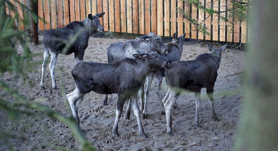 ARKIVFOTO: 5 svenske elgkalve ankom i. november 2015 til Lille Vildmose, hvor de blev anbragt i en lille indhegning. Her skulle de vænne sig til den danske natur, inden de bliver sat ud.