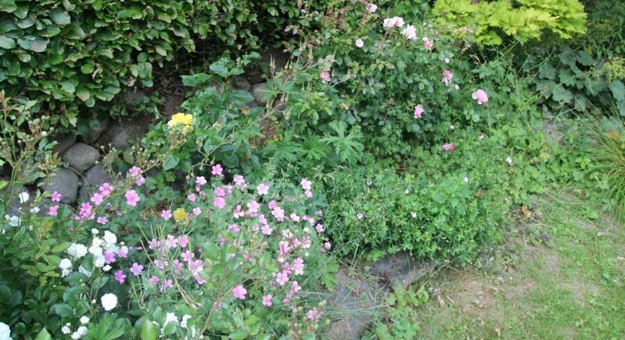 Både roser og stauder bliver ekstra flotte, hvis de bliver gødet jævnligt.
