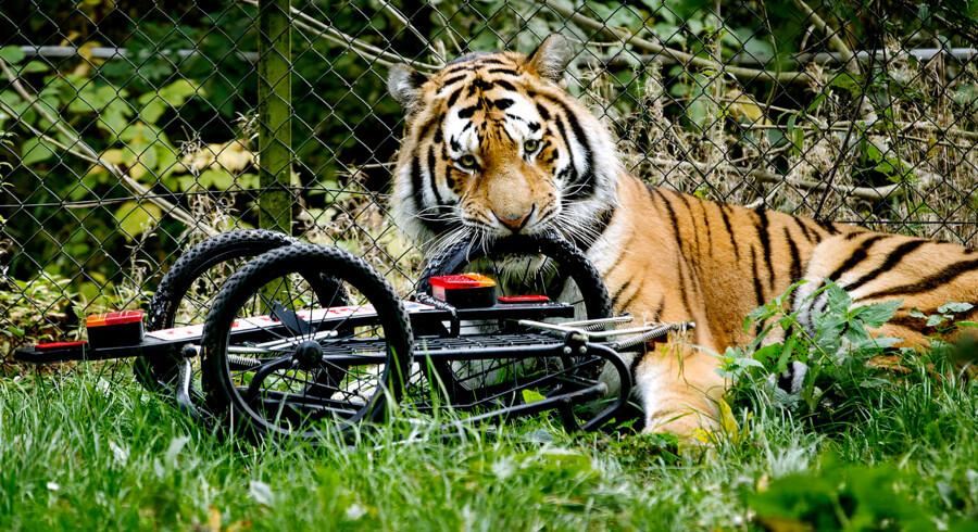 Tigeren har kastet sig sulten over sit bytte.