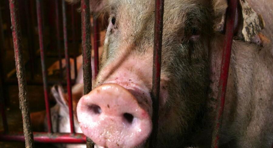 Der er risiko for svinepest i Danmark, og er der hold i mistanken, vil det være som et meteornedslag i dansk svinekødseksport.