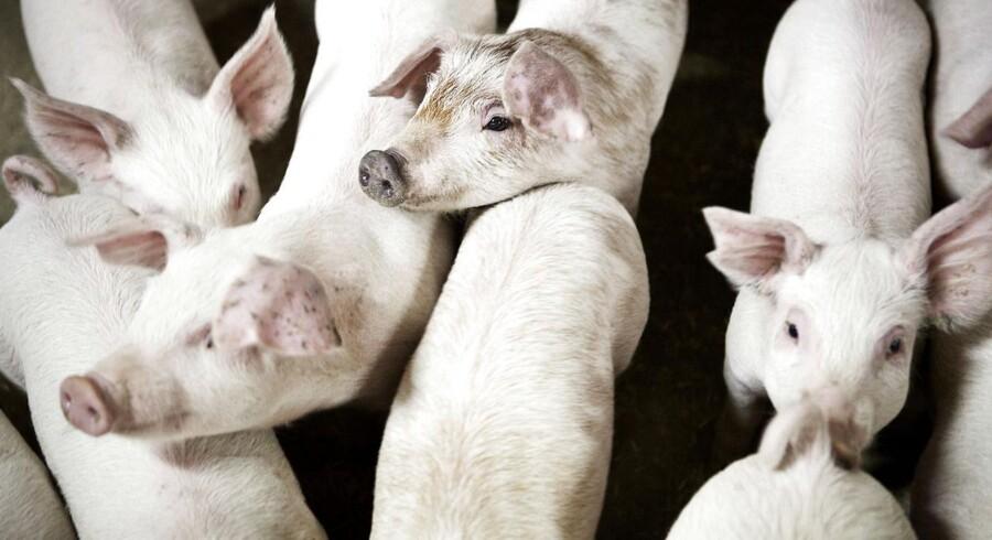En stigende forekomst af salmonella-bakterier i svinebesætninger har ikke udløst flere sygdomstilfælde i mennesker.