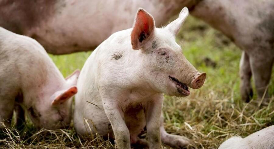 Danske grise har mere bacon på sidebenene, vokser hurtigere og føder flere levedygtige smågrise end før. Den udvikling er ikke ny, men den går hurtigere end nogensinde, fordi genomisk selektion er blevet en fast del af det danske avlsarbejde.
