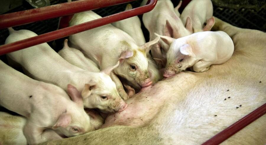 »Slagterierne skriger i dag efter flere grise, og landmændene er klar til at levere dem, hvis de altså får nogle konkurrencevilkår på linje med deres kolleger i vores nabolande,« siger han.