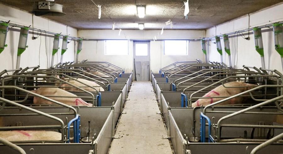 Stramme regler for udledning af kvælstof forhindrer større produktion af svin i Danmark - og det koster beskæftigelse.