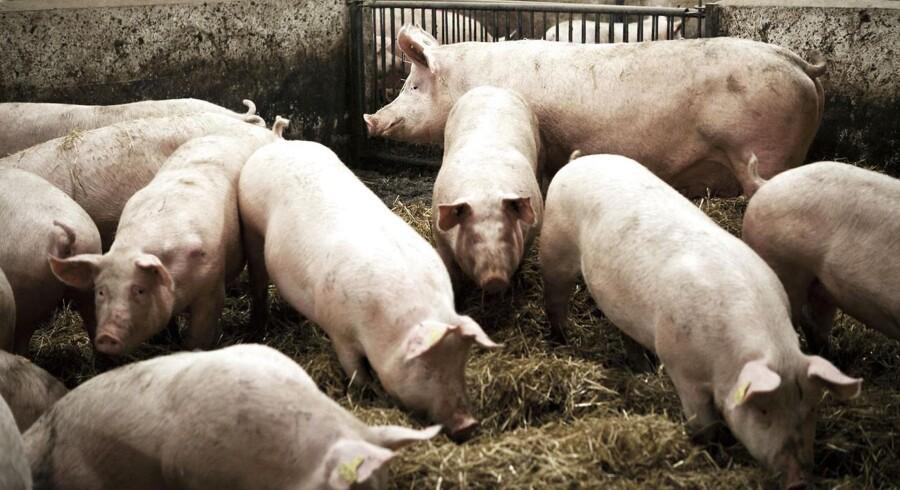 Svenske politikere truer med boykot af dansk svinekød.