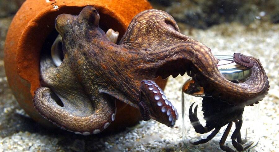 Blæksprutte i Danmarks Akvarium.