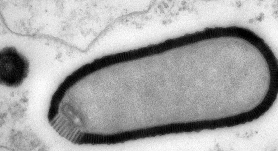 Den 30.000 år gamle virus, som franske biologer har opdaget i prøver af sibirisk is er på størrelse med små bakterier.