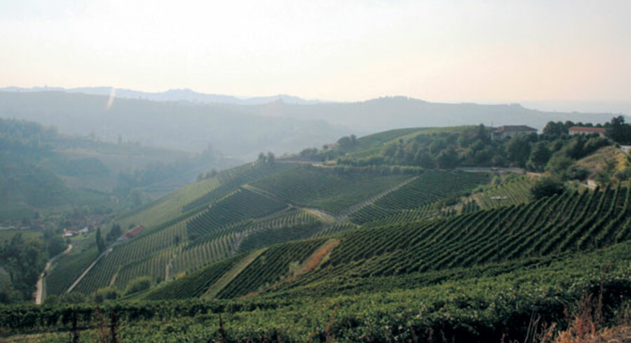 Bakkerne omkring Alba er tætplantede med vinranker. Kør lidt længere sydpå mod middelhavet, og vinstokkene erstatttes af hasselnøddebuske.