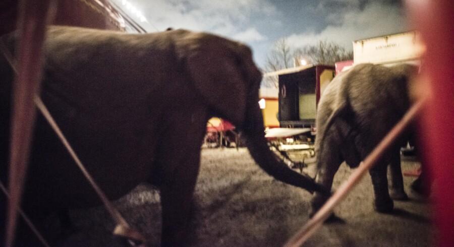 Cirkus Arena råder over en mindre Noas Ark af dyr, herunder tre veldresserede afrikanske elefanter. Foto: Ida Marie Odgaard