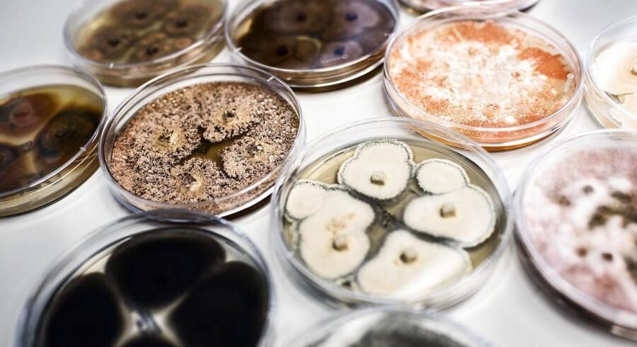 Svampe son er indsamlet til at danne forskellige enzymer. Novozymes. Arkivfoto.