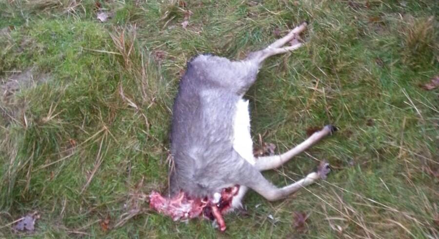 Her ses den døde dåkalv uden hoved fotograferet i Dyrehaven 10. december 2014.
