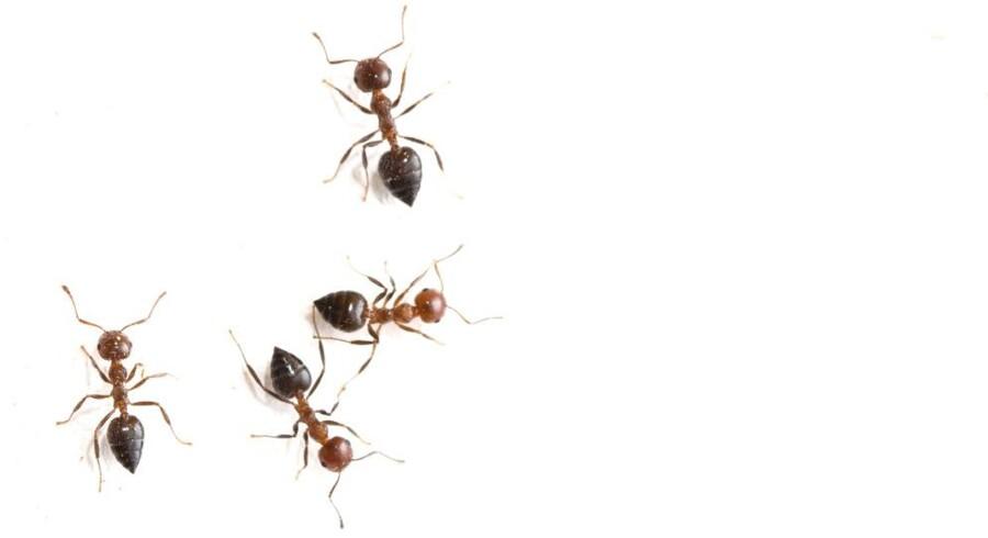 Myrene kommer.
