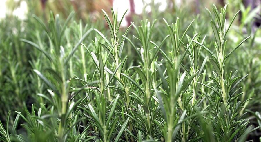 Krydderurten rosmarin kan have gavnlige effekter, tyder ny britisk forkning på.