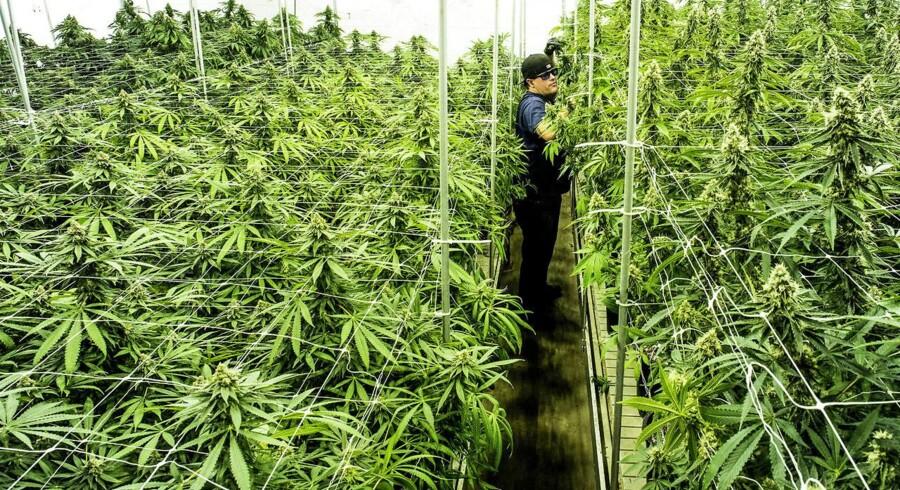 En håndfuld gartnerier ønsker at dyrke medicinsk cannabis. Dyrkning skal foregå sikkert, siger Dansk Gartneri. (Foto: Søren Bidstrup/Scanpix 2017)