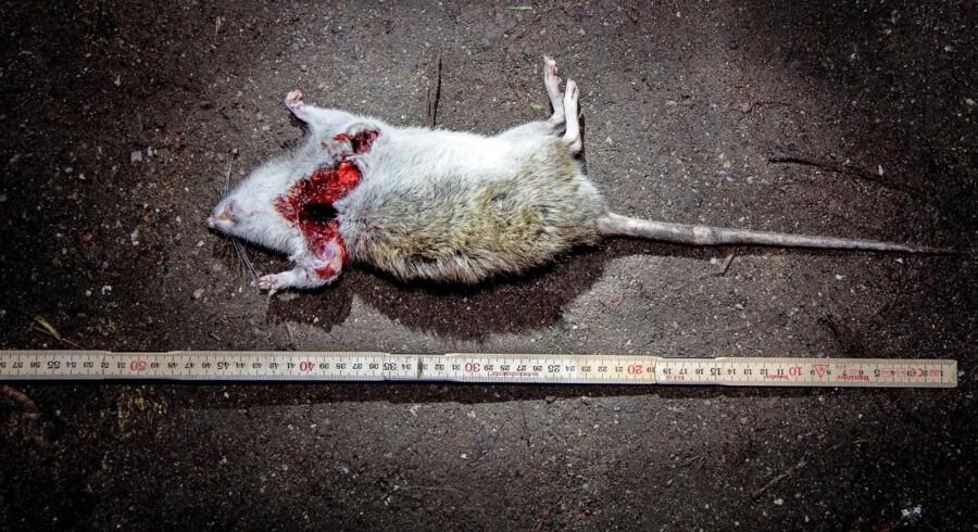 Berlingske var i december 2017 med på rottejagt i Kongens Have. Her er det den største fangst fra den aften. En fuldfed rotte på 48 cm. Den nu afdøde kæmperotte »Landemærket« var endnu større. Foto: Bax Lindhardt