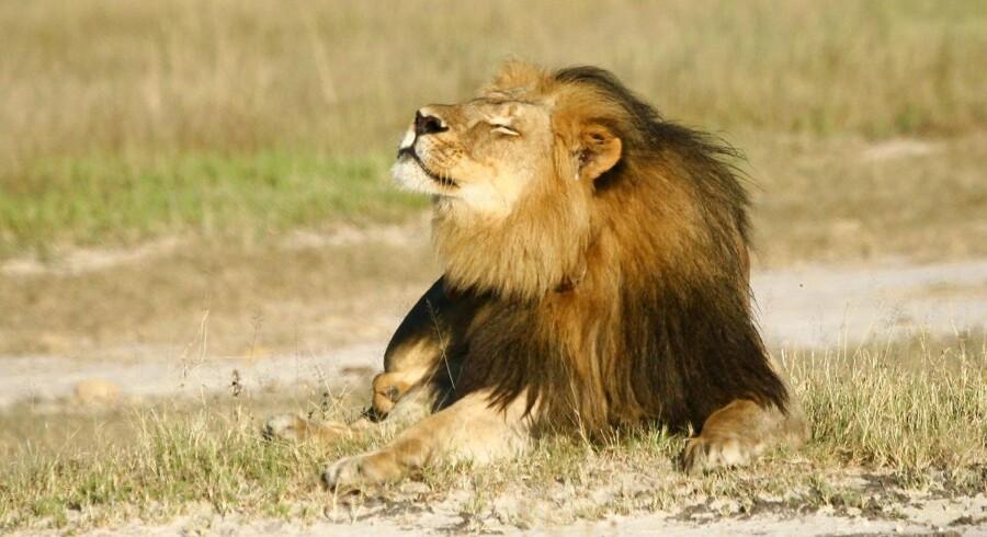 Arkivfoto af løve, der ikke er relateret til ulykken.