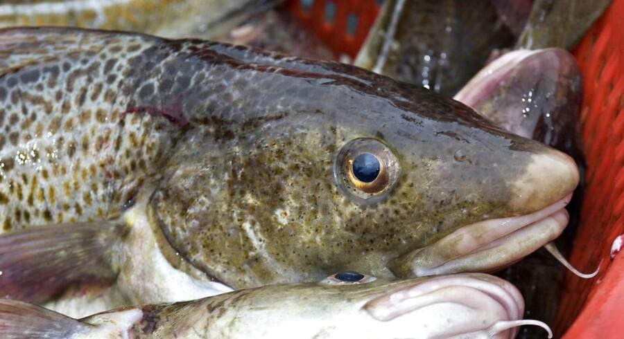 En ny beretning fra Rigsrevisionen indeholder angiveligt skarp kritik af Miljø- og Fødevareministeriets forvaltning af de danske fiskekvoter i perioden 2003-2017.