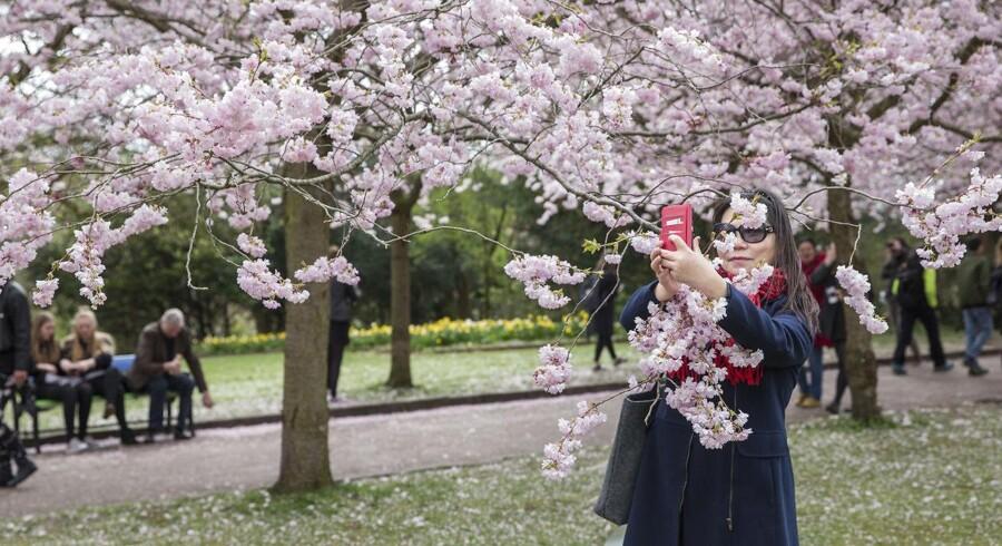 Kirsebærtræerne på Bispebjerg kirkegård. Grenene hives ned så de passer bedst muligt til en selfie.