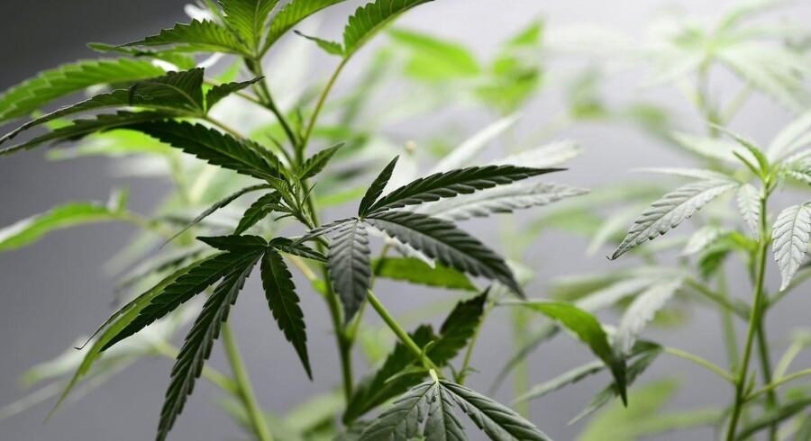 Siden lørdag har det været muligt at købe marihuana til eget forbrug i Nevada. Og salget går forrygende.(Foto: MIGUEL MEDINA/Scanpix 2017)