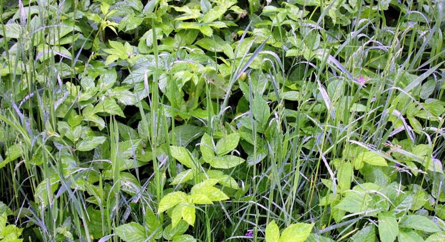 Hvis haven er fyldt med skvalderkål, så start med at udrydde ukrudtet, og plant dine blomster bagefter, lyder et af rådene fra Haveselskabet. For dukker skvalderkålen først op i et etableret bed, kan det være rigtig svært at komme af med igen. Scanpix/Jan Jørgensen/arkiv