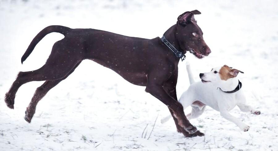 Mange hunde boltrer sig i sneen i Solbjerg hundeskov ved Aarhus søndag d. 13. januar 2013.
